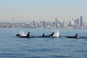 orcas-against-vancouver-skyline