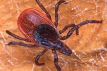 tick_lyme_government of ontario