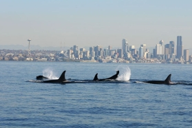 orcas against Vancouver skyline